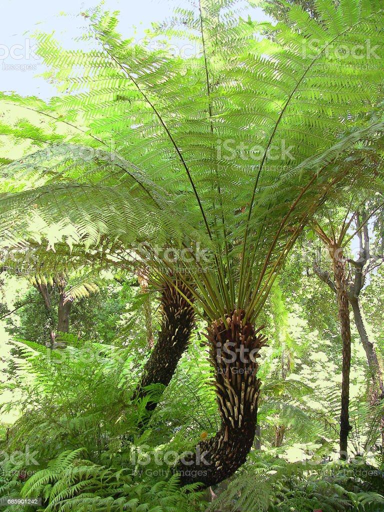 two Dicksonia antarctica tree ferns in bright sunshine stock photo