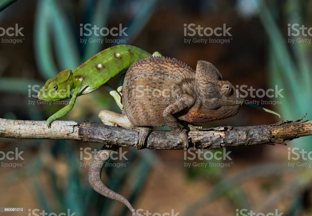 Two different colors of chameleon sitting on a branch. foto de stock royalty-free