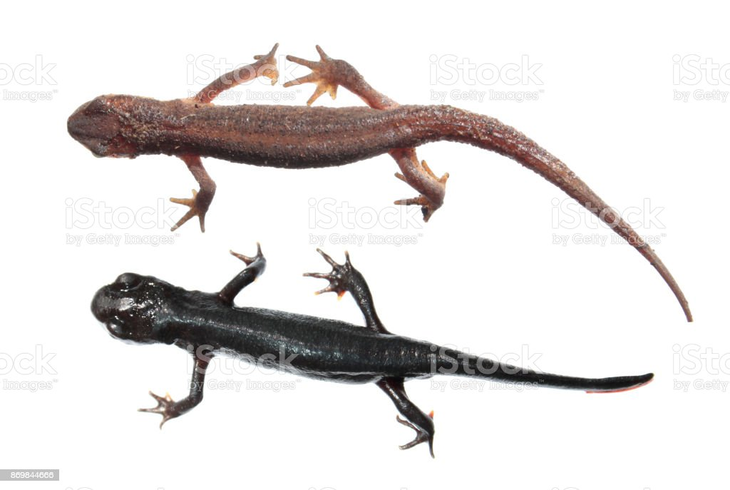 Two different species of newts isolated on white background. Common newt (Lissotriton vulgaris) and Japanese fire belly newt (Cynops pyrrhogaster) stock photo
