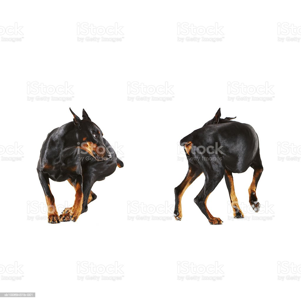 Two Dobermans looking at each other, studio shot royalty free stockfoto