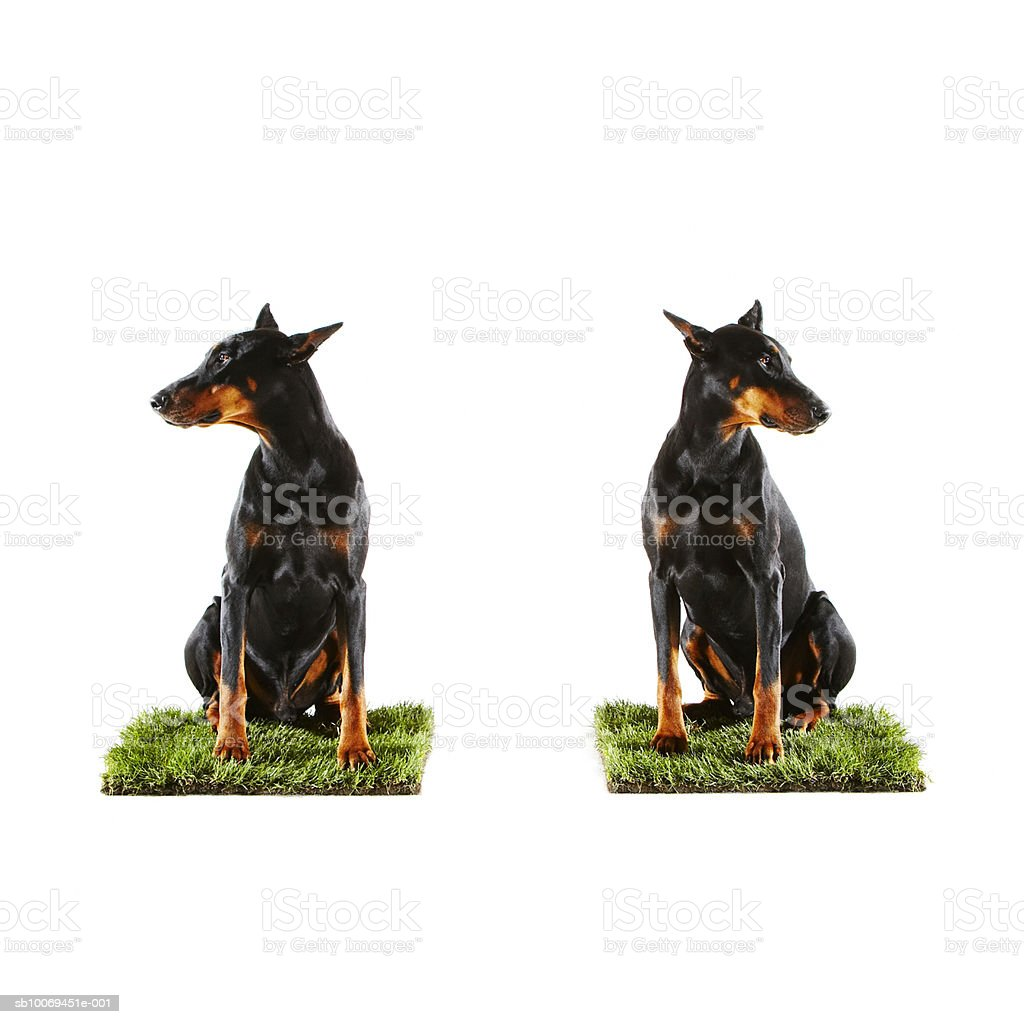 Two Dobermans sitting on patches of grass royalty-free stock photo