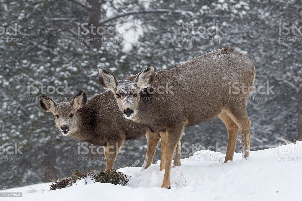 Two Does in a Colorado Winter royalty-free stock photo