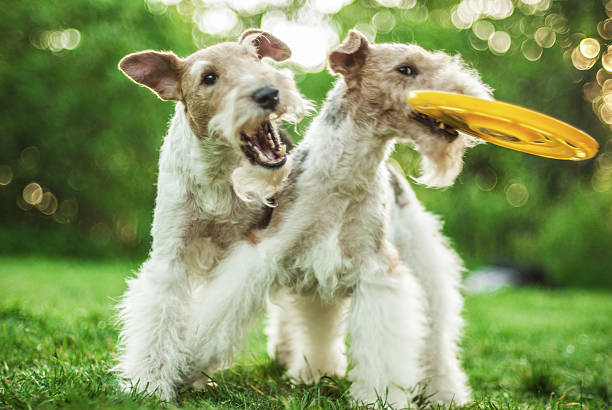 Two dog breeds Fox-Terrier stock photo