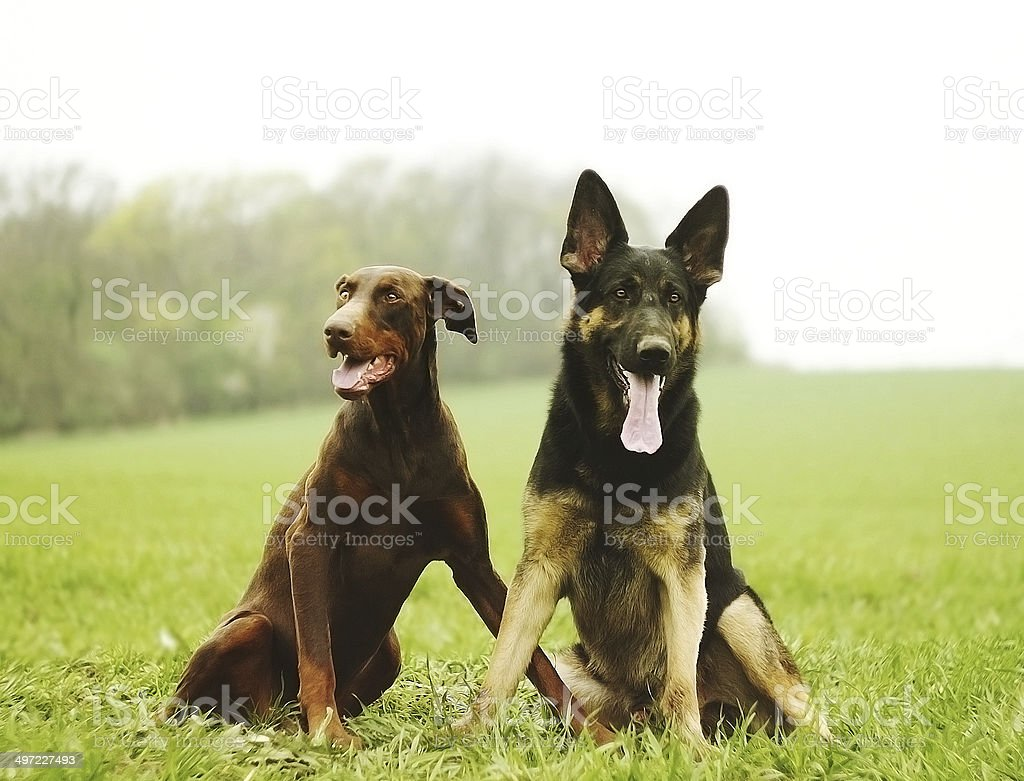 Two Dog Brown Doberman Pinscher And Fun German Shepherd Stock Photo Download Image Now Istock