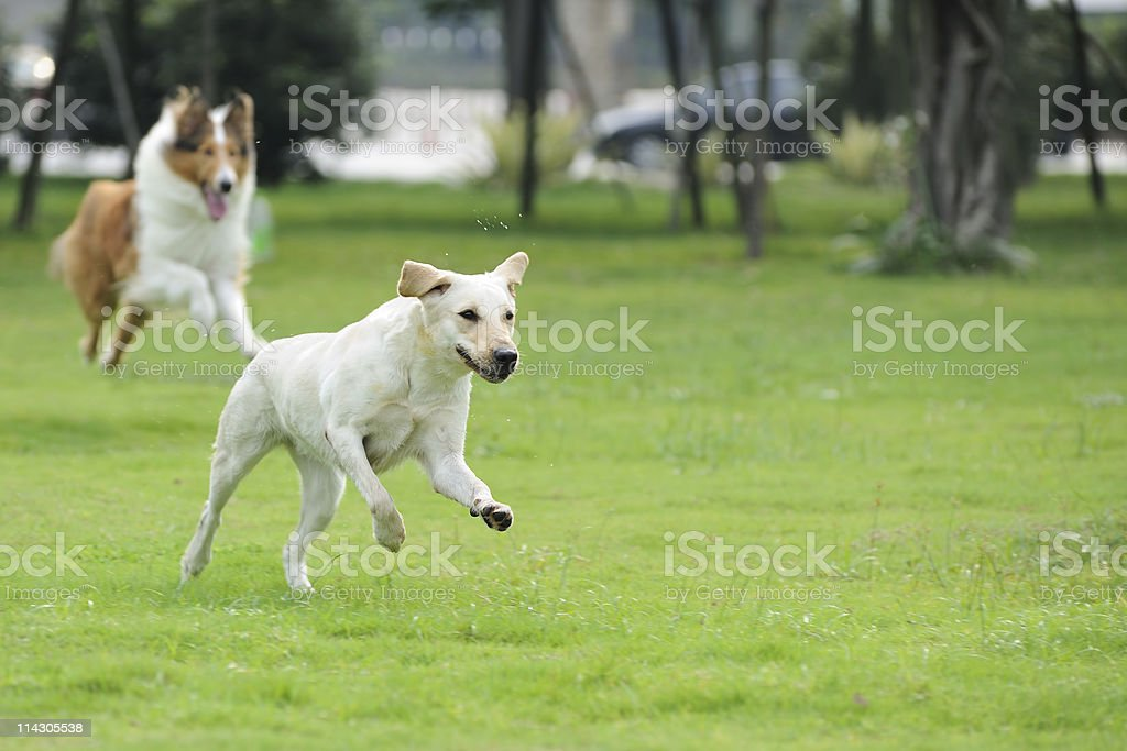 Two dog chasing stock photo