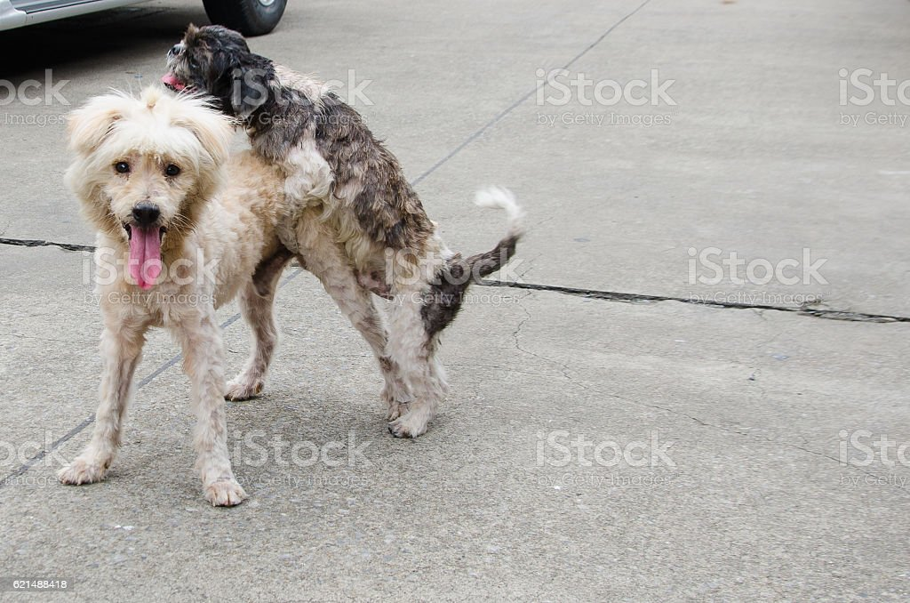 Two dog making love foto stock royalty-free