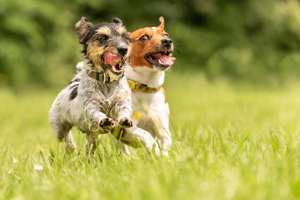 Two dog running happily over a green field cute jack russell terrier picture id962988864?b=1&k=6&m=962988864&s=612x612&w=0&h=walzgnyarb 3dhmthg066a ilqt98 fyq5ekxduvi2q=