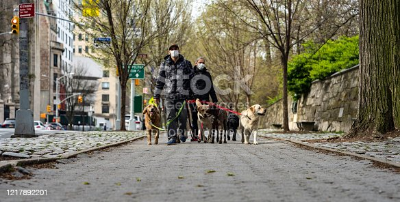 New York, NY, USA - April 5, 2020 : Two dog walkers wear masks due to the ongoing coronavirus pandemic as they walk north on Fifth Avenue in the East 90's with three labs, a golden, and a pointer with a ball in its mouth.