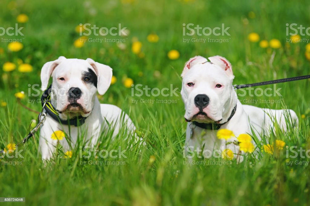 Two Dogo Argentino dogs lying outdoors in a green grass with yellow dandelions stock photo