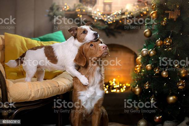 Two dogs and a christmas tree picture id623302810?b=1&k=6&m=623302810&s=612x612&h=78mjq1yyzvdly3d9od4h7fszabyzf9torqziw wbl38=