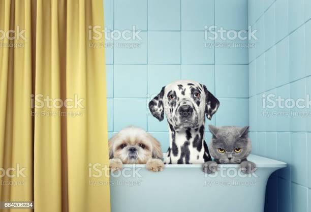 Two dogs and cat in the bath picture id664206234?b=1&k=6&m=664206234&s=612x612&h=zj2qaly1hkeotc5lq1grpbdajfj30qetltxwd6xhrku=