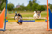 Two dogs are on the agility field.
