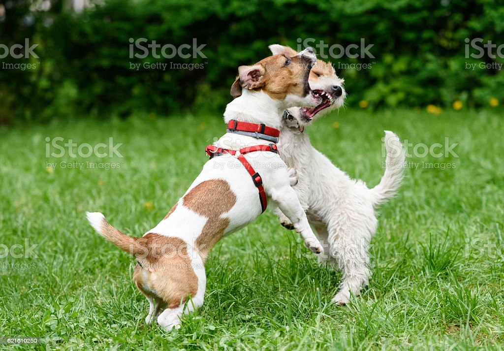Two dogs barking and threaten each other with open mouth stock photo