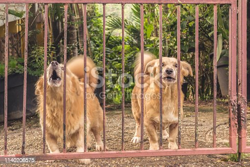 Two small orange dogs looking at camera