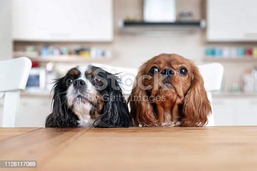 Two dogs sitting behind the kitchen table waiting for food