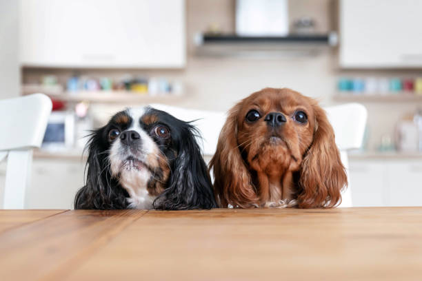 Two dogs behind the table stock photo