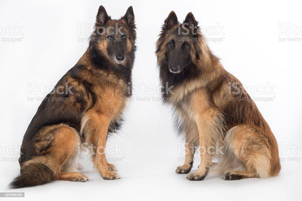 Two dogs, Belgian Shepherd Tervuren, isolated stock photo