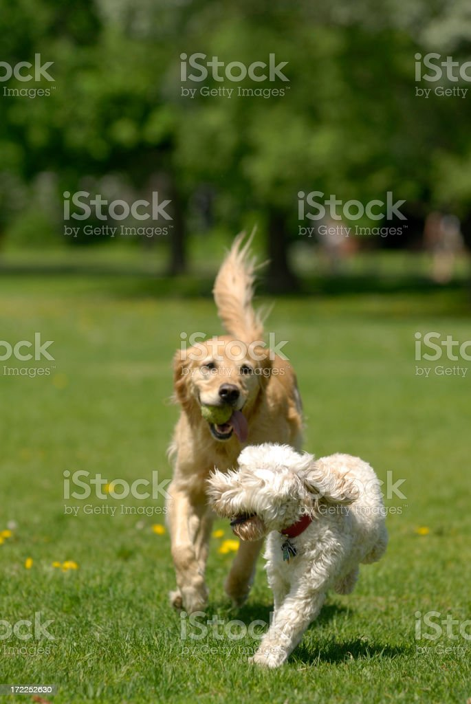 Two dogs chasing each other in the park royalty-free stock photo