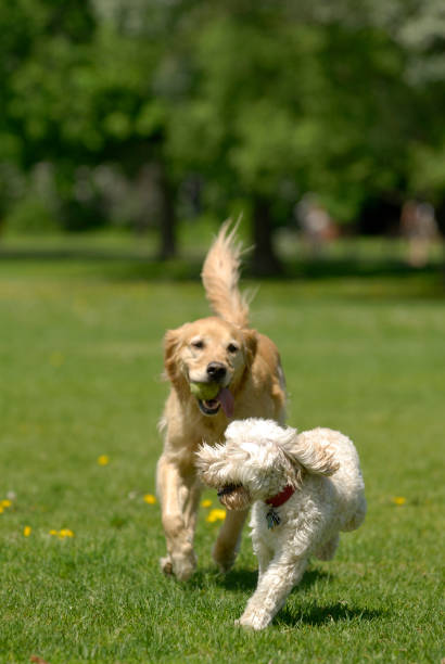 Spielen Hunde – Foto