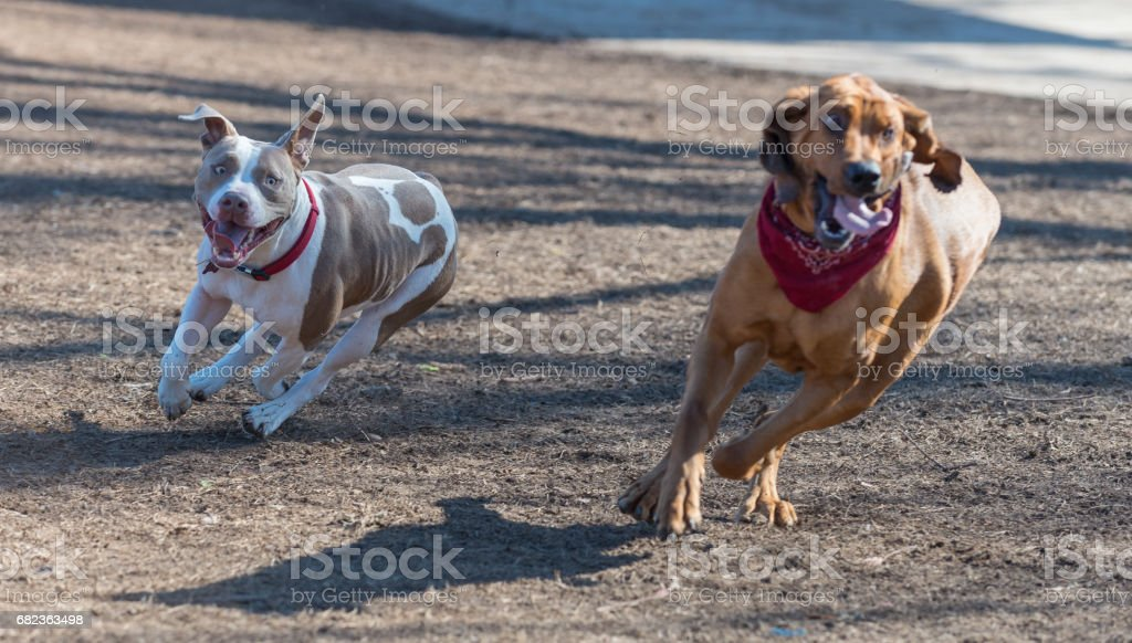 two dogs chasing foto stock royalty-free
