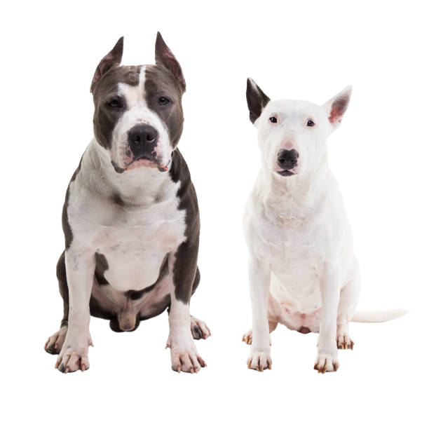 Background Of A Pitbull Breeds With Stock Photos, Pictures & Royalty