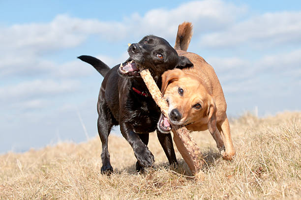 Two dogs fighting over a stick outdoors stock photo