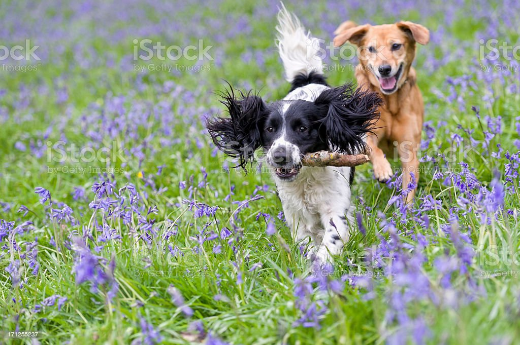 Two dogs frolicking, one with a stick in its mouth stock photo