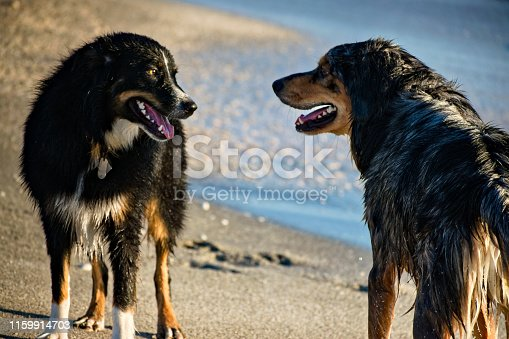 Close up. Two dogs greet to each other on the beach. Created in Venice, FL, Jan 2, 2019