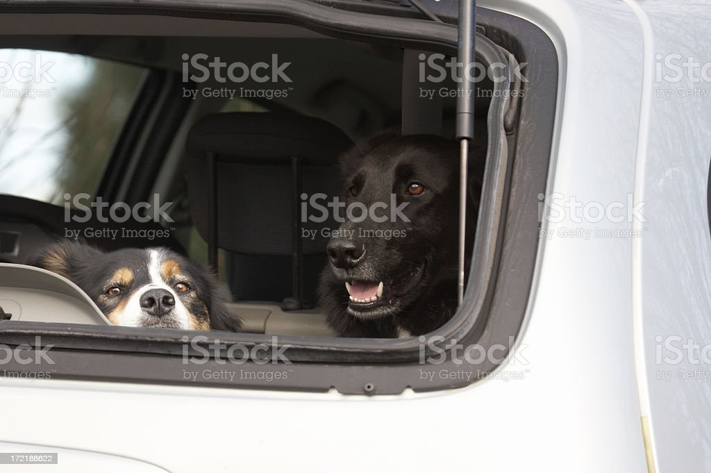 Two dogs in a car royalty-free stock photo
