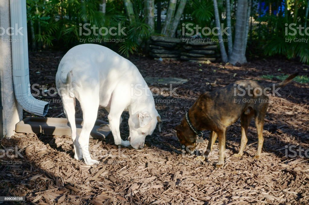 Two dogs in backyard stock photo