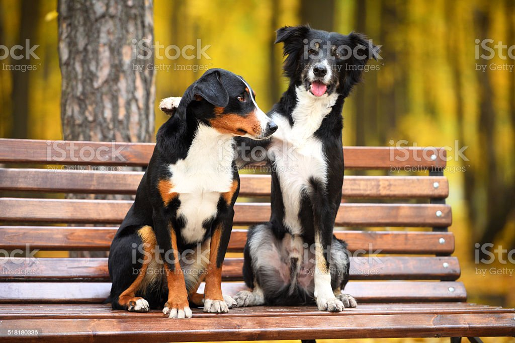 Two dogs in love in autumn park stock photo