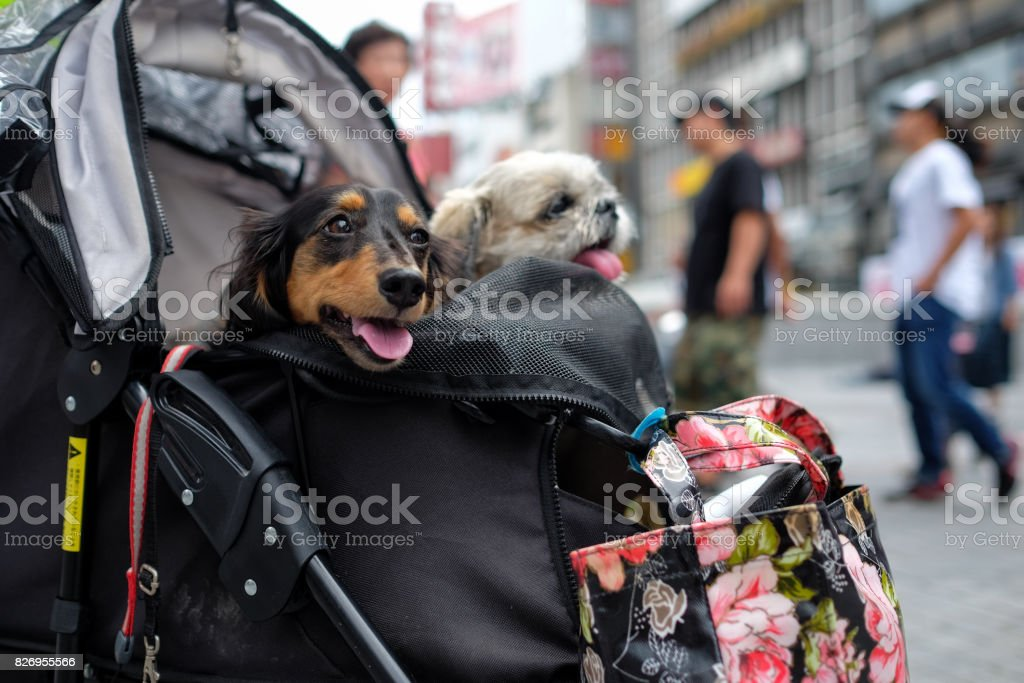two dogs in stroller in Osaka stock photo