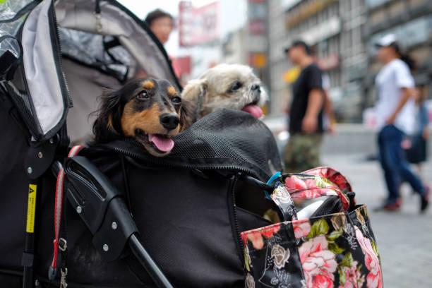 two dogs in stroller in Osaka stock photo