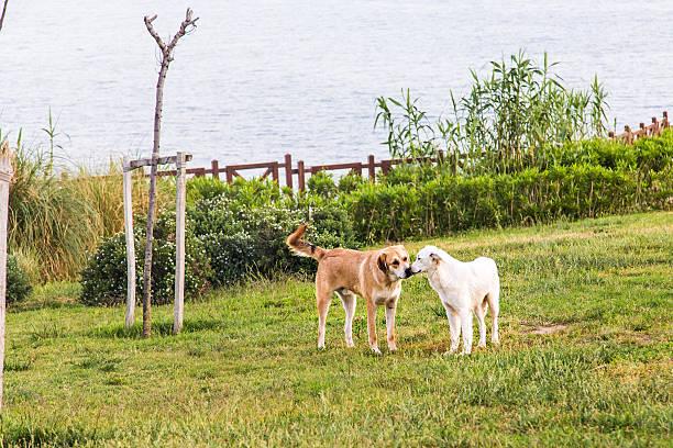 zwei hunde küssen und lick - sealyham terrier stock-fotos und bilder