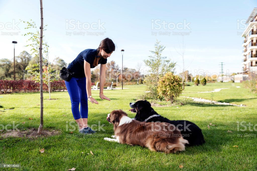 Two Dogs Laying Obey Training stock photo