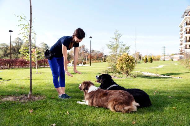 dois cães que fixa obedecem a formação - treino esportivo - fotografias e filmes do acervo