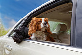 istock Two dogs look out the open car window 680200760