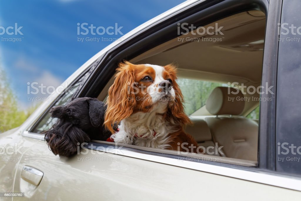 Two dogs look out the open car window – Foto