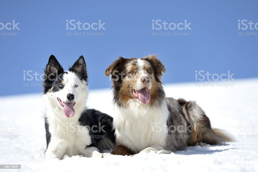 Two dogs on snow royalty-free stock photo