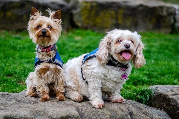 zwei hunde - dressierter hund stock-fotos und bilder