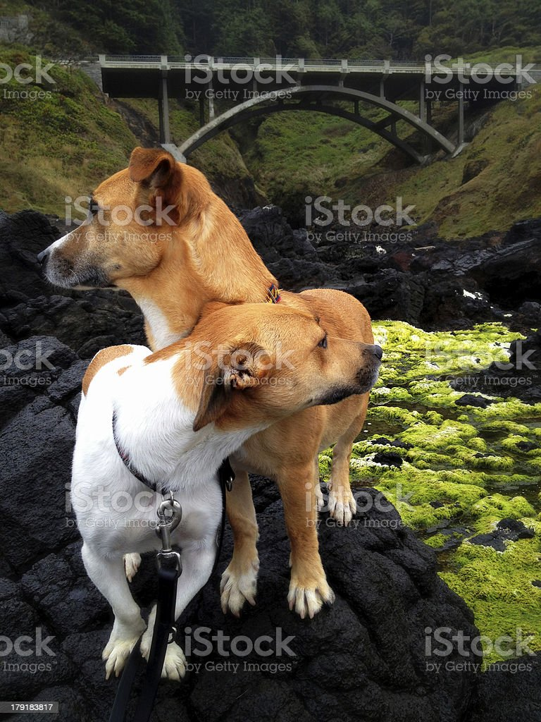 Two Dogs royalty-free stock photo