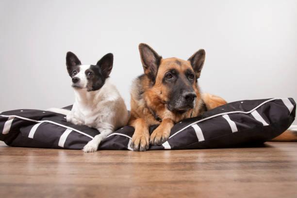 zwei hunde - katzen kissen stock-fotos und bilder