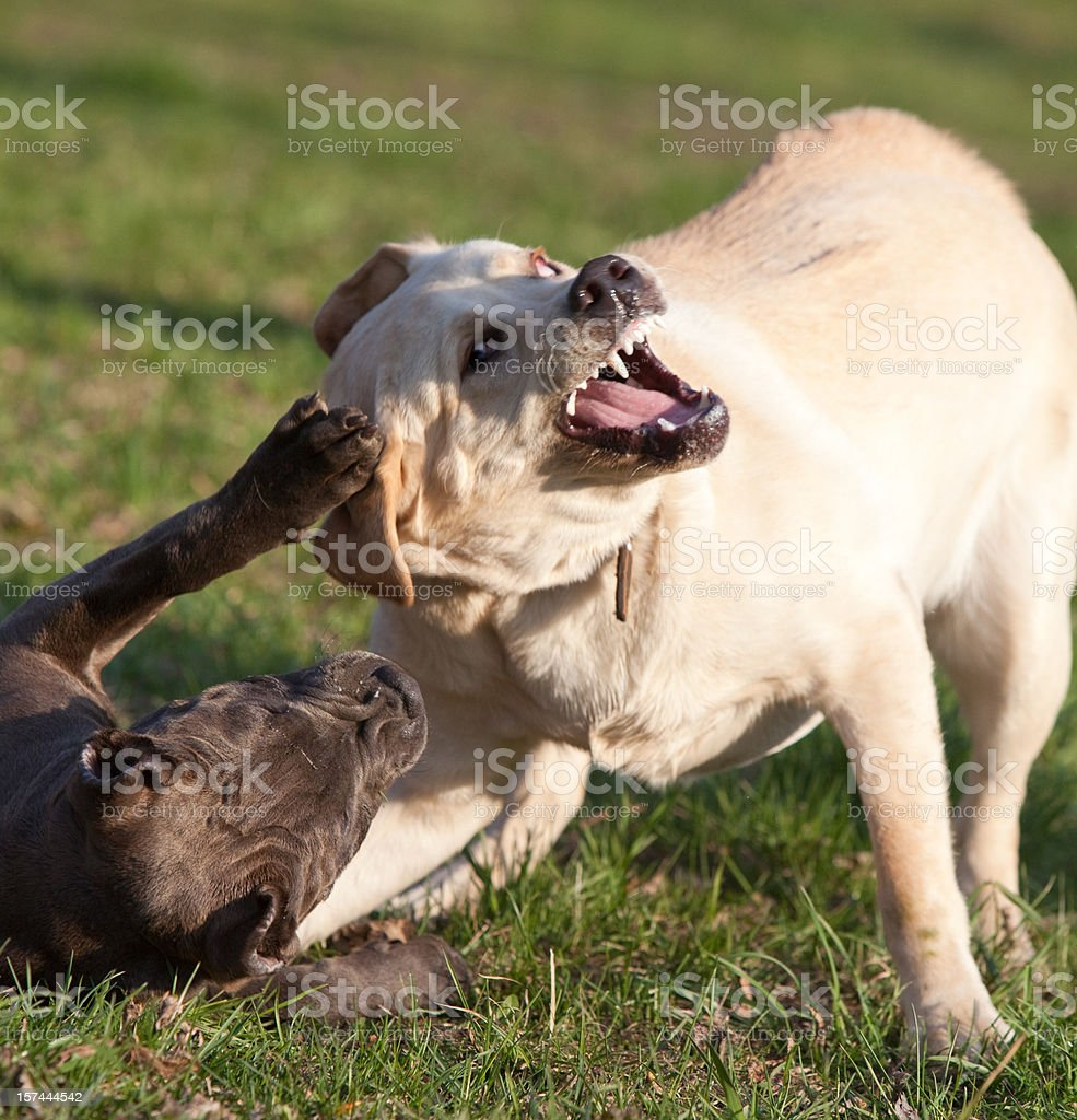 two dogs play: labrador retriever and pitbull terrier royalty-free stock photo