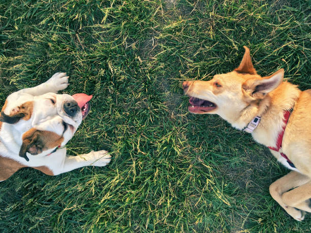 two dogs play on the grass, copyspace in between stock photo