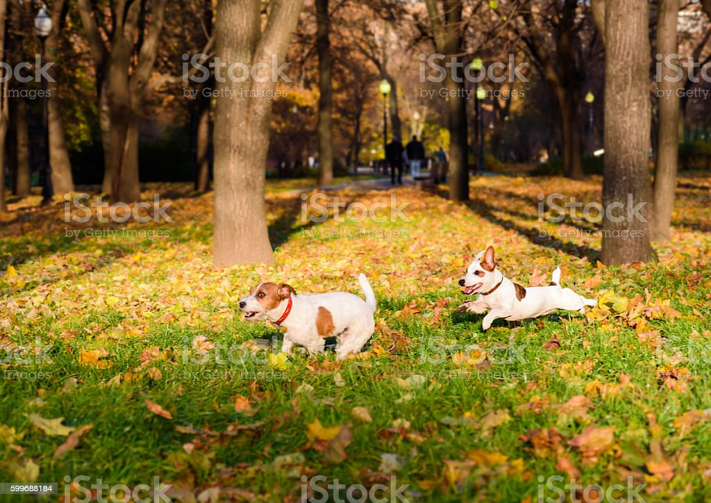 Two dogs playing funny pursuit at fall park. stock photo
