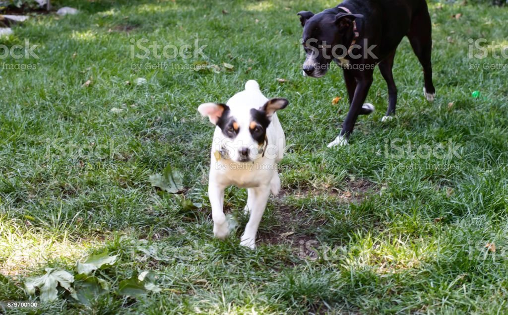 Two dogs playing in grass with room for copy stock photo