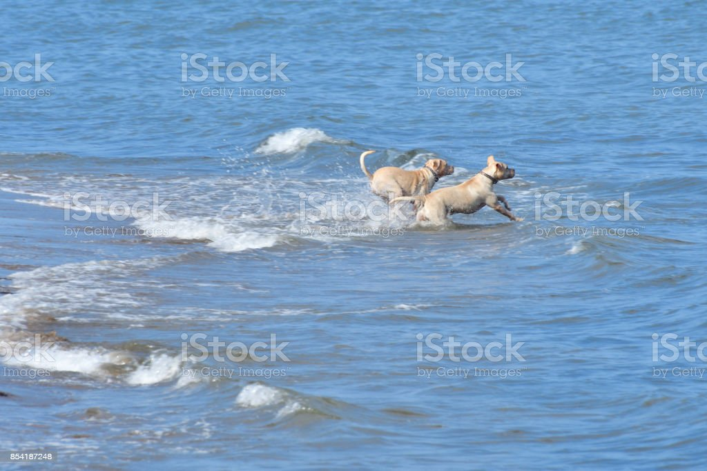 Two Dogs Playing in the Ocean stock photo