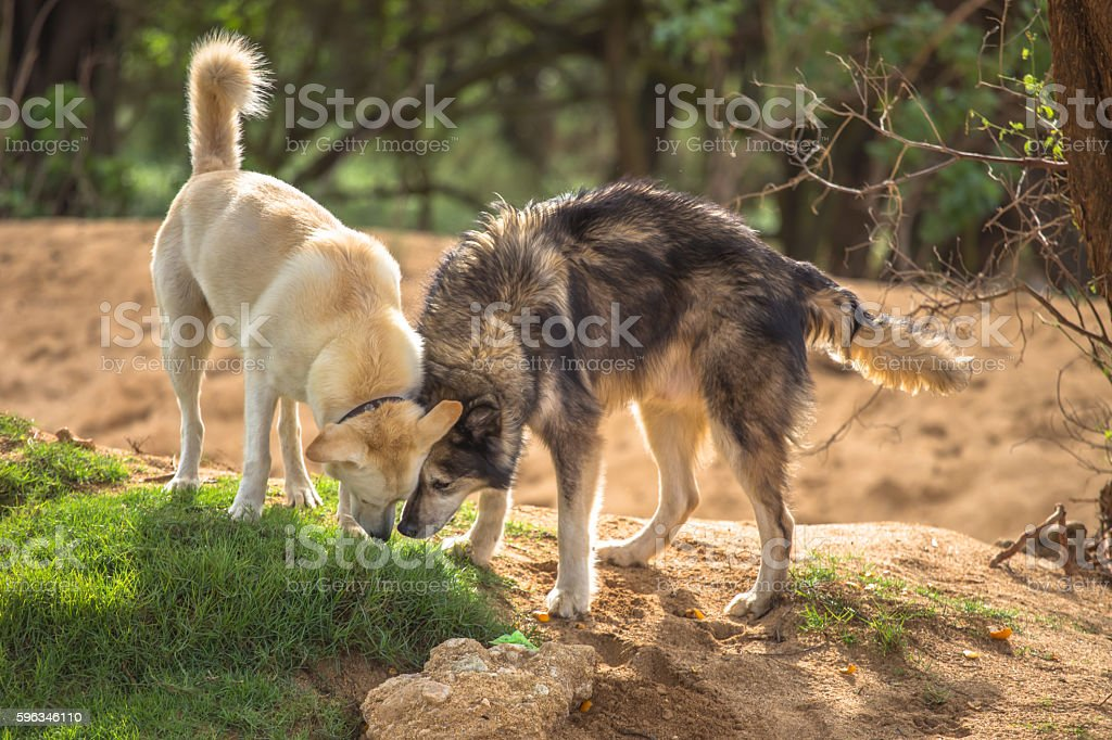 Two dogs playing royalty-free stock photo