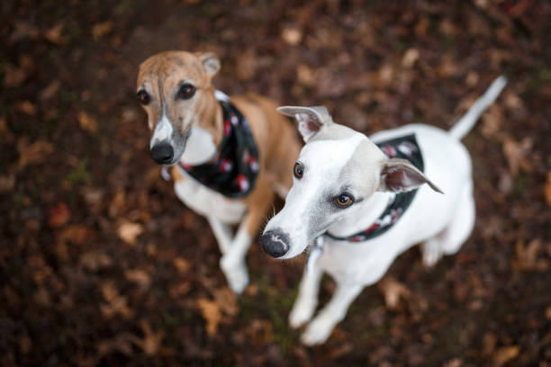 Two dogs playing Two cute whippets seen from above whippet stock pictures, royalty-free photos & images