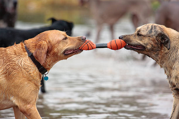 Royalty Free Dog Tug Of War Pictures, Images and Stock